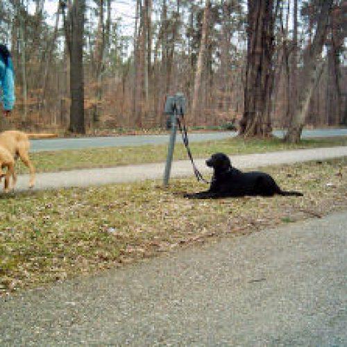 Ein Team umrundet einen abliegenden Hund ...